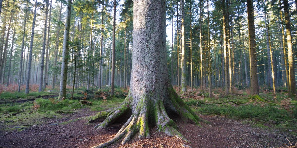 もみの木の特徴