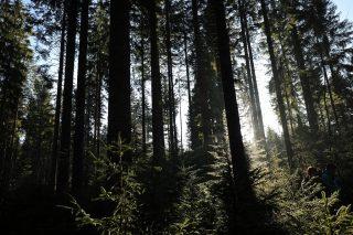 柾目のもみの木